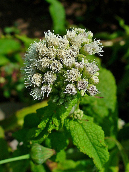 Eupatorium perfoliatum, Asteraceae, Common Boneset, inflorescences. Boneset was a rediscovered plant in the Middlesex Fells. Image courtesy of Wikimedia Commons